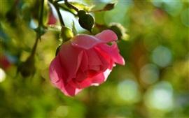 Rosa rosa, resplandor