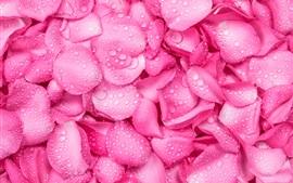 Fundo de pétalas de rosa rosa, gotas de água