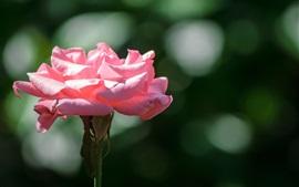 Розовая роза, лепестки, солнце