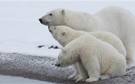 ホッキョクグマ家族、雪、寒い