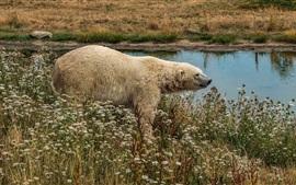 Urso polar, flores silvestres, lagoa