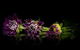 Preview wallpaper Purple dahlia, flowers, black background