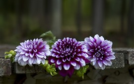 Preview wallpaper Purple dahlias, bench
