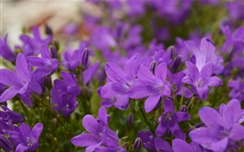 Preview wallpaper Purple flowers, spring, blurry background