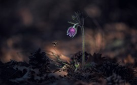 Preview wallpaper Purple sleep-grass flower, bee