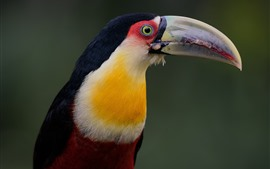 Preview wallpaper Red-breasted Toucan, bird, beak