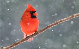 Preview wallpaper Red cardinal bird, tree branch, snow, winter