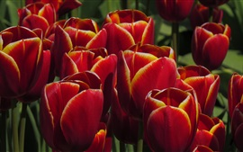 Preview wallpaper Red orange tulips, flowers