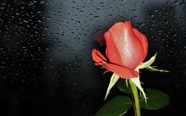 Rosa roja, fondo negro, gotas de agua