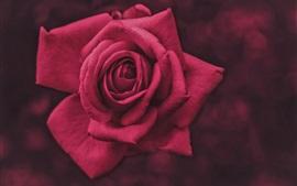 Fotografía macro rosa roja, pétalos