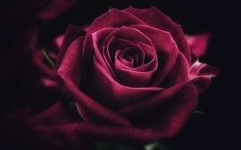 Red rose, petals, darkness