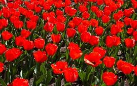 Champ de tulipes rouges, printemps