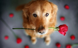 Preview wallpaper Retriever, brown dog, red rose