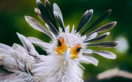 Preview wallpaper Secretary bird, white feathers, beak