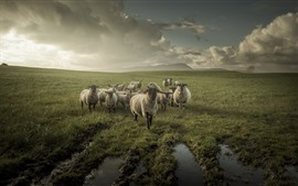 Preview wallpaper Sheep, grassland, clouds