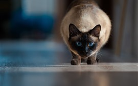 Preview wallpaper Siamese cat front view, blue eyes