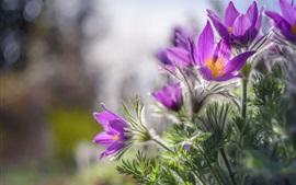 Sleep-grass, flores de primavera púrpura