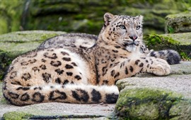 Snow leopard, rest, stones