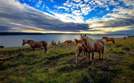 Preview wallpaper Some horses, grass, sea, clouds, sunset