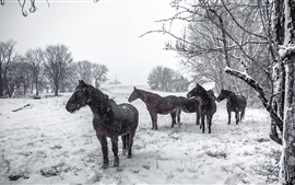 Preview wallpaper Some horses in the winter, snowy, trees