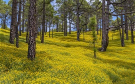 Preview wallpaper Spain, Canary Islands, yellow flowers, trees, spring