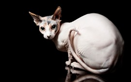 Preview wallpaper Sphynx cat look back, eyes, black background