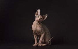 Preview wallpaper Sphynx cat, sit, black background