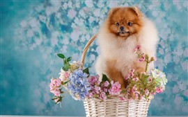 Preview wallpaper Spitz dog, basket, flowers