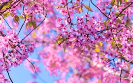 Spring, sakura flowering, pink tree flowers