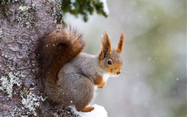 Ardilla, cubierto de nieve, árbol, invierno