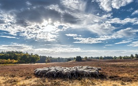 Summer, sheep, clouds, sunshine