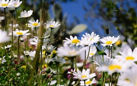 Preview wallpaper Summer, white chamomile flowers