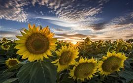 Girassóis, nascer do sol, verão