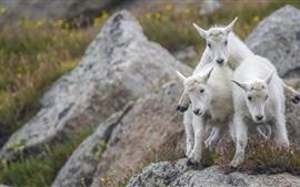 Três cabras