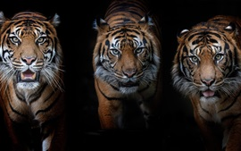 Preview wallpaper Three tigers, black background