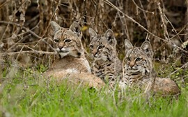 Three wildcats, bushes