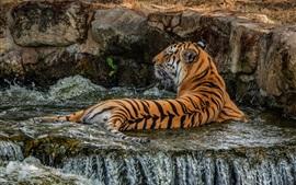 Тигр, купающийся в воде