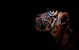 Preview wallpaper Tiger cub, blue eyes, black background