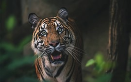 Preview wallpaper Tiger, front view, face, roar