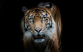 Preview wallpaper Tiger front view, look, black background