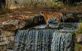 Tigre, cascada, agua, zoológico