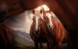 Two brown horses, front view