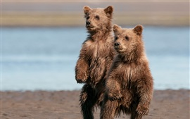 Preview wallpaper Two cute brown bears, stand up, wet