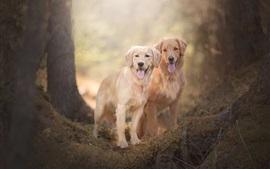Dois, cachorros, retriever dourado