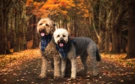 Dois, cachorros, amigos, outono