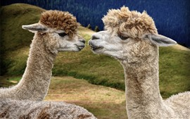Two llama, face to face