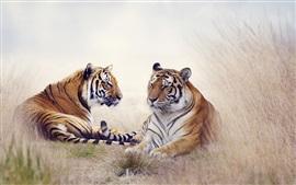 Two tigers, grass