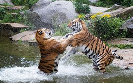 Preview wallpaper Two tigers playful in water, splash