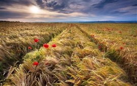Preview wallpaper Wheat field, spikelets, red poppies