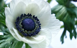 Preview wallpaper White anemone flower macro photography